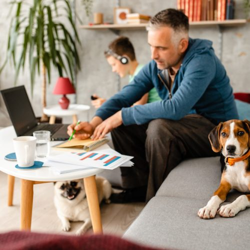 Curious beagle puppy makes company to his owner while he working from home during home isolation